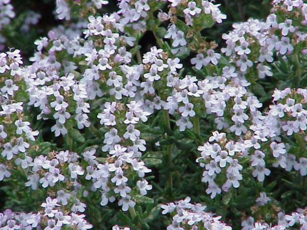 Thymus vulgaris tymianek