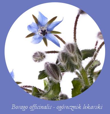 ogórecznik lekarski Borago officinalis
