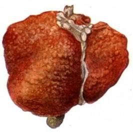OrtoDetox Holistic – oczyszczanie wątroby, wsparcie układu wątrobowo-żółciowego Peumus boldus herba, Taraxicum officinale radix korzeń mniszka lekarskiego